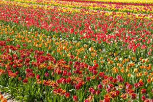 La Torche et ses champs de tulipes